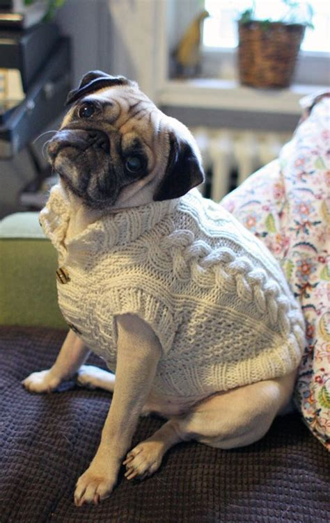 pug sweater pug in a stylish sweater puglife