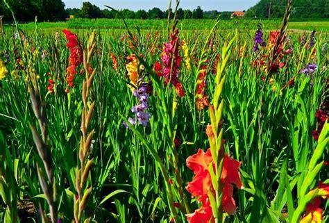 gladioli fiori gladioli piante da giardino piante gladiolo
