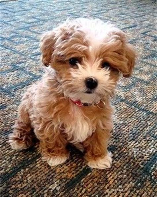 lifespan of poodle mix maltipoo maltese and miniature poodle mix top 5