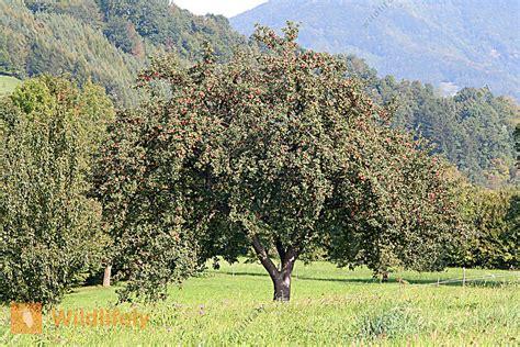 Was Kostet Ein Apfelbaum 2715 by Bestellen Apfelbaum Malus Domestica Bild Bildagentur