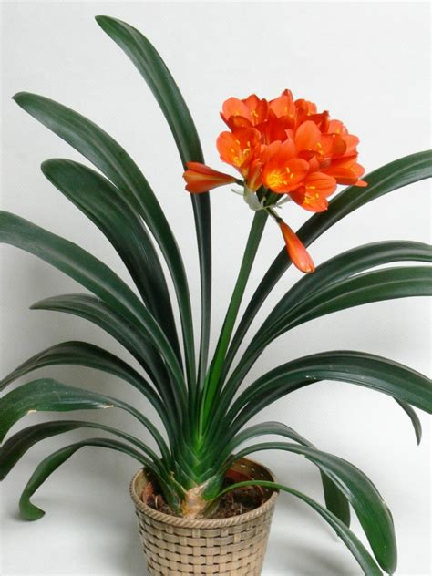 clivea miniata an easy care flowering houseplant hubpages special deal large clivia plant in bud bursting in to