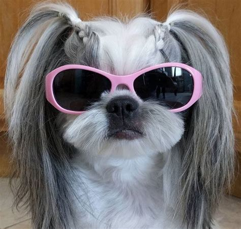 mahogany shih tzu hairstyles 76 best images about shih tzu hair styles on pinterest