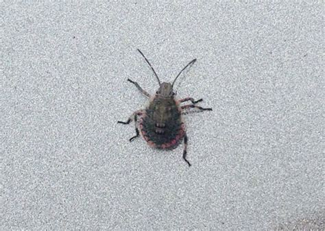 bug treer tree stink bug nymphs what s that bug
