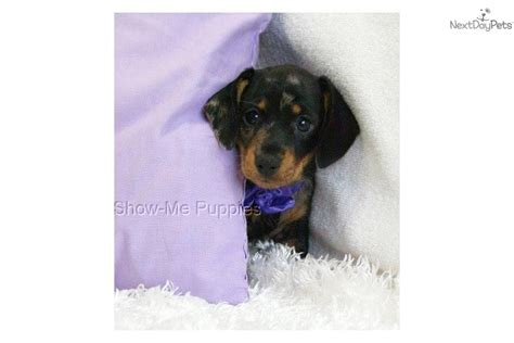 dogs 10 pounds small breed dogs 10 pounds breeds picture