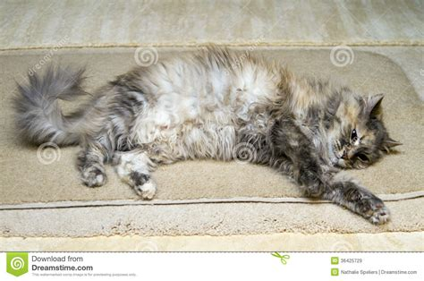 cat on rug cat on rug royalty free stock images image 36425729