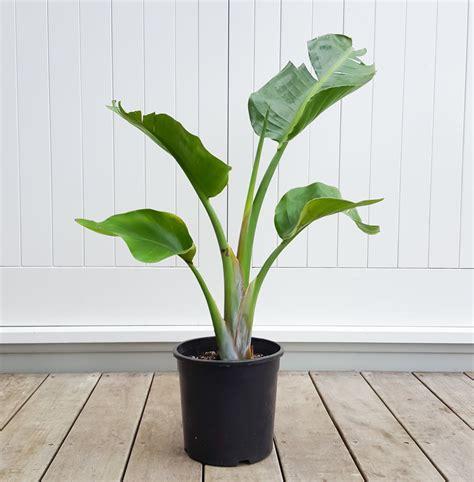 indoor plants nz bird of paradise strelitzia for indoors plantandpot nz