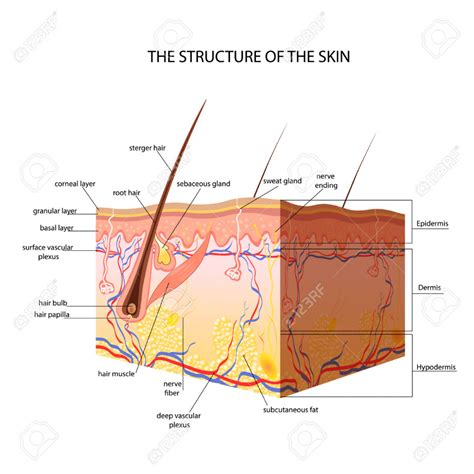 diagram of a skin skin layers anatomy human anatomy diagram