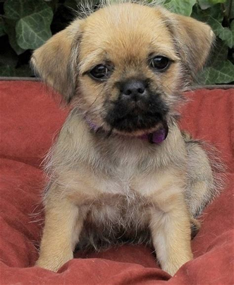 pug yorkie cross 16 pug cross breeds you to see to believe