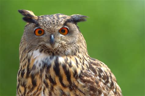 kinds of owls | the aviary at owls.com