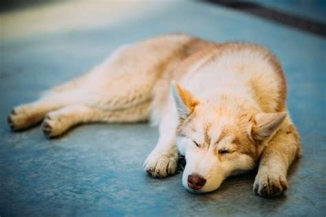 anemia in puppies anemia in dogs causes symptoms and treatment the pet step