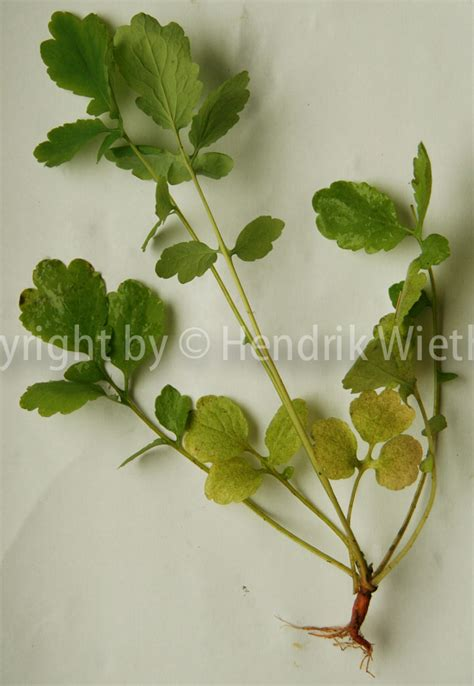 pflanzen gegen staub pflanze gegen warzen sch llkraut hilft gegen warzen