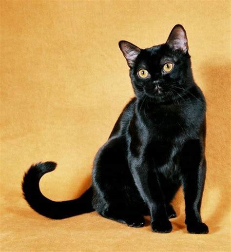 Imágenes Gato Negro | 201 rase un gato negro taringa