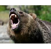 Grizzly Bear Standing Roar &183 Up