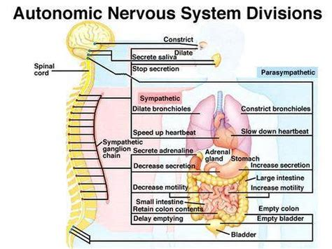 diagram of autonomic nervous system diagrams of human nervous system diagram site