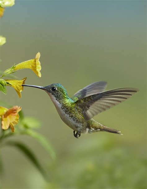 andean emerald hummingbird feeding print by tim fitzharris