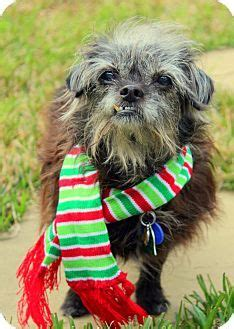 yorkie rescue fort myers schnauzer miniature terrier mix s search