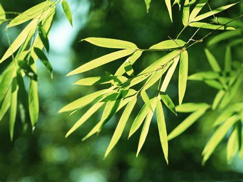 wallpaper daun resolusi tinggi gambar gambar daun yang alami dan sangat indah