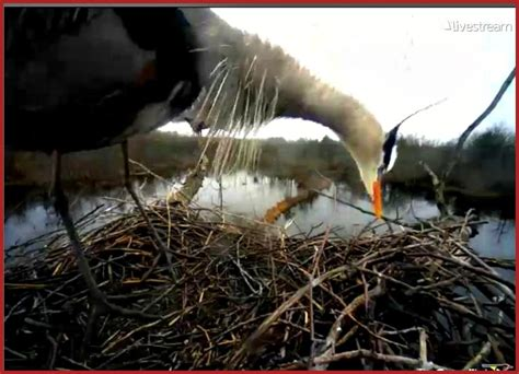 watch the red hawks and great blue herons on live cams