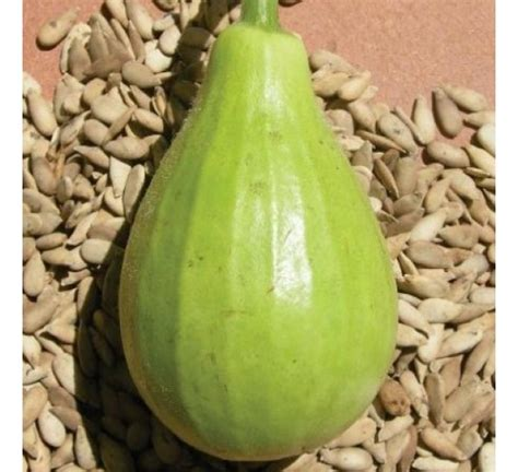 biggest online plants store buy bottle gourd f1 hybrid lattu online at cheap price