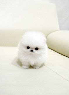 pomeranian puffball 1000 images about pom puffball on teacup pomeranian pomeranians and