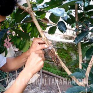 Plastik Untuk Okulasi cara cangkok tanaman agar cepat tumbuh akar