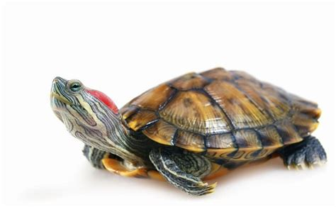 red eared slider turtle facts habitat diet pet care