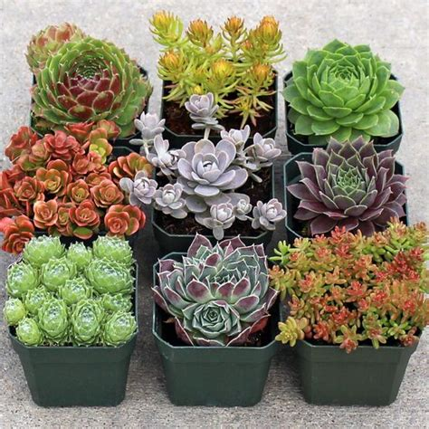 plants for a rock garden rock garden hardy succulent collection 9 mountain