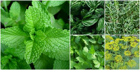 Kitchen Herb by 5 Fresh Herbs You Should Be Cooking With The Culinary