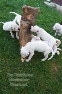 Dogo argentino mix pitbull