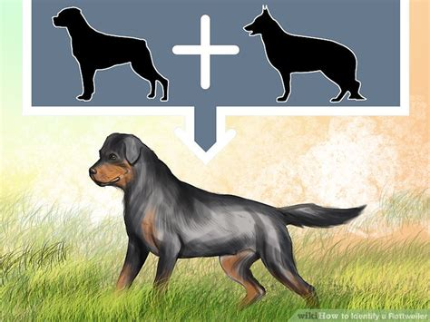 german rottweiler colors 3 ways to identify a rottweiler wikihow