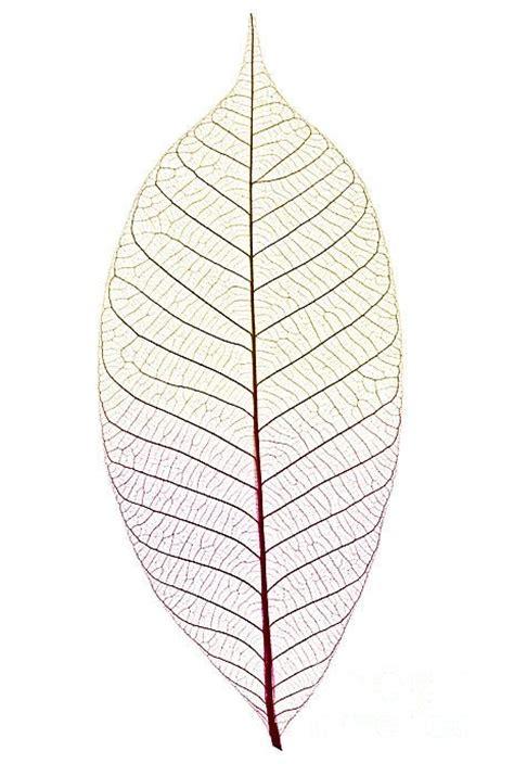 printable skeleton leaves 25 best ideas about skeleton for sale on pinterest leaf
