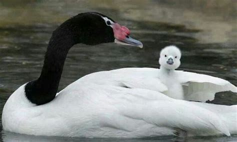 black swan and babies baby swan animals pinterest babies and swans