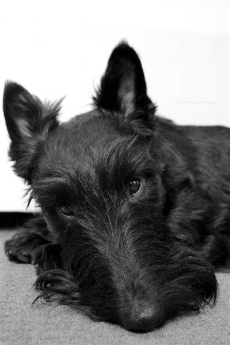 how to give a scottish terrier a hair cut 1000 images about scottie dogs on pinterest scottish