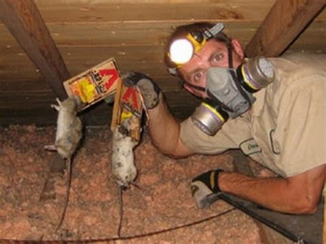 How To Get Rid Of Mice In Ceiling by How To Get Rid Of Rats How To Kill Rats How To Catch A