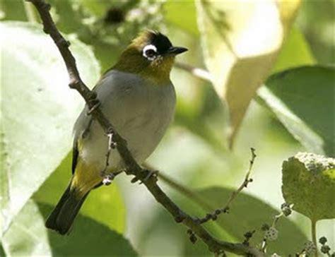 gambar burung pleci media kecamatan tepus