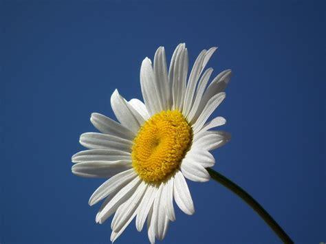 Atribut Uber Biru By Daffahelmet bunga putih 183 foto gratis di pixabay