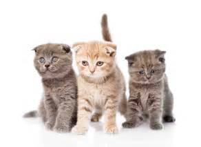 chat de race mode d emploi dossiers chat sant 233 vet