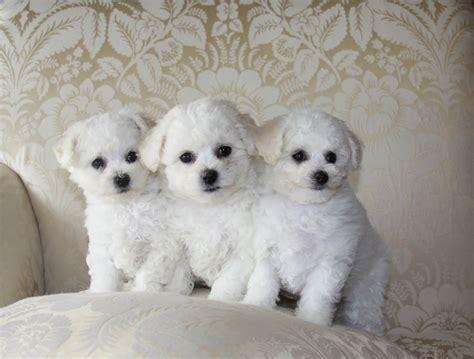 gambar anjing bichon frise gambar anjing ras foto anak anjing lucu