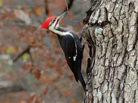 the woodpecker woodworking why a woodpecker doesn t bash its brains in the infinite