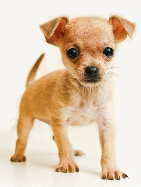 chihuahua puppy names everything you need to about the chihuahua on 1 page