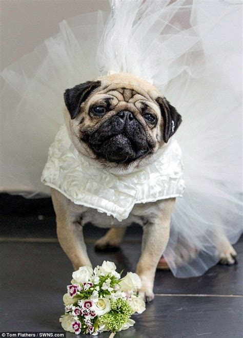 how big do pugs get 1000 images about pugs in costume on