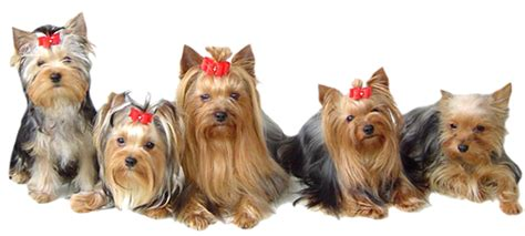 yorkie club of america terrier club of america merry photo