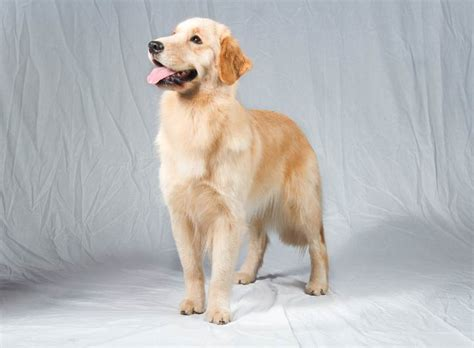 national show golden retriever the national show everything you need to american kennel club