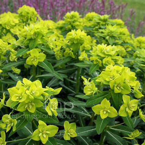where to buy herb plants a big photo of euphorbia schillingii from findmeplants