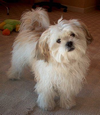 best 25 shih poo ideas on pinterest shih poo puppies cute maltese shih tzu www pixshark com images