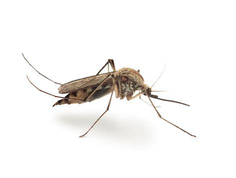 Wodurch Werden Mücken Angezogen by Wirksame Hausmittel Gegen M 252 Cken