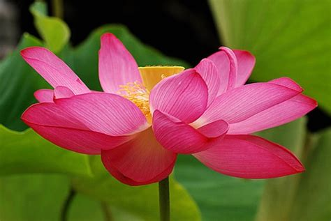 Aftelier Perfumes Pink Lotus by Beautiful Pink Flower Lotus Jpg