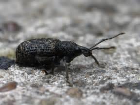bugblog vine weevils