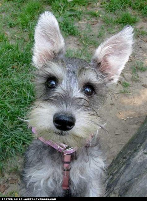 I Didnt Even Er Pet Pet Pet Product 7 by Mini Schnauzer Baby Schnauzer Minis