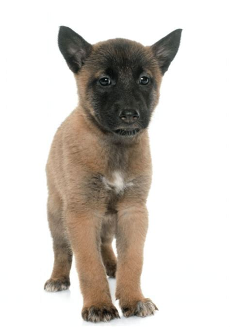 belgian malinois puppy price best 25 belgian malinois price ideas on belgian malamute corso
